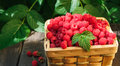 Basket With Raspberries Near Bush On Wooden Table In Garden Stock Photos - 95514453