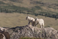 Pair Of Cute Mountain Goat Kids Royalty Free Stock Image - 95524796
