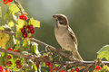 Sparrow  With A Branch With Red Currant Royalty Free Stock Photography - 95525017