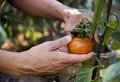 Young Man Picking A Tomato From The Plant Stock Photos - 95561473
