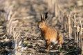 Brown Hare  In The Field Stock Photo - 95569530