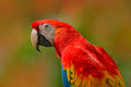 Big Red Parrot Scarlet Macaw, Ara Macao, Bird Sitting On Branch, Costa Rica. Wildlife Scene From Tropic Forest Nature. Beautiful P Royalty Free Stock Images - 95607869