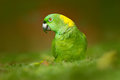 Yellow-naped Parrot, Amazona Auropalliata, Portrait Of Light Green Parrot With Red Head, Costa Rica. Detail Close-up Portrait Of B Stock Photo - 95608180