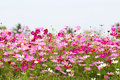 Cosmos Flower Field With Sky,spring Season Flowers Stock Photography - 95608702