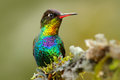 Red Glossy Shiny Bird. Fiery-throated Hummingbird, Panterpe Insignis, Colour Bird Sitting On Larch Branch. Red Shiny Hummingbird I Stock Images - 95609014