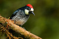 Woodpecker From Costa Rica Mountain Forest, Acorn Woodpecker, Melanerpes Formicivorus. Beautiful Bird Sitting On The Green Mosse B Stock Photo - 95621480