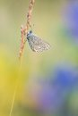 Beautiful Nature Scene With Butterfly Common Blue Polyommatus Icarus. Stock Photography - 95632272