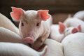 Cute Piglets In The Pig Farm Stock Photos - 95637703