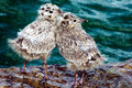 Common Gull Chicks Royalty Free Stock Photo - 95646035