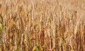 Spikes Of Ripe Wheat. Stock Photo - 95651500
