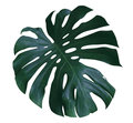 Monstera Plant  Leaf, The Tropical Evergreen Vine Isolated On White Background, Path Royalty Free Stock Photo - 95652295