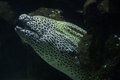 Laced Moray Gymnothorax Favagineus Stock Photography - 95654632