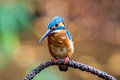 Bird Common Kingfisher &x28;Alcedo Atthis&x29; A Beautiful Color Royalty Free Stock Images - 95669849