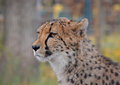 Close Up Side Profile Portrait Of Cheetah Royalty Free Stock Image - 95754866