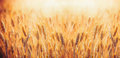 Golden Cereal Field With Ears Of Wheat ,  Agriculture Farm And Farming Concept Royalty Free Stock Photos - 95759778