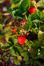 Red Berry, A Strawberry Ripened On A Bush In The Field. Agriculture To Plant Berries Royalty Free Stock Image - 95771026