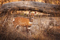 Bushbuck In The Buffalo National Park In The Caprivi Strip, Namibia Royalty Free Stock Images - 95798829