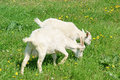 Two Young Goats Grazing Stock Image - 9589131