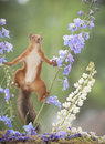 Red Squirrel Between Delphinium Royalty Free Stock Images - 95836899