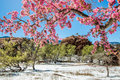 Cherry Blossom Trees At Red Rock Canyon Open Space Colorado Spri Stock Photography - 95856822