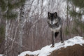 Black Phase Grey Wolf Canis Lupus Looks Out From Atop Rock Stock Images - 95859204