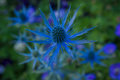 Blue Thistle In Sea Of Greenery Stock Photography - 95871062