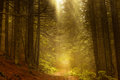 Pine Dark Autumn Forest In Fog Royalty Free Stock Photography - 95913517