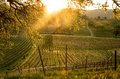 Sunrise Over The California Vineyard Stock Photos - 95940953