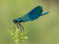 Beautiful  Banded Demoiselle& X28; Calopteryx Splendens& X29; Belonging To Royalty Free Stock Images - 95948629