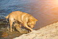 Labrador Retriever Dog On Beach. Red Retriever Digging Pit. Sun Flare Royalty Free Stock Photos - 95977278