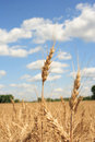 A Wheat Field With Blue Sky Background Royalty Free Stock Image - 967236