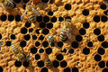 Exit Of A Bee From A Cell. Royalty Free Stock Image - 9608416