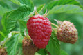 A Raspberry Fruit On Bush In The Garden In Summer Royalty Free Stock Photography - 96027117