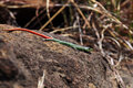 Sekukhune Flat Lizard Stock Photography - 96033002