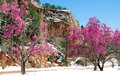 Cherry Blossom Trees At Red Rock Canyon Open Space Colorado Spri Royalty Free Stock Photo - 96091715