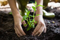 Cropped Hands Of Woman Planting Seedling On Dirt Stock Images - 96128344