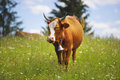 Cow In Blooming Herbs Stock Photography - 96133582