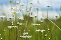 Summer Natural Background, Ecology, Green Planet Concept: Beautiful Blooming Wild Flowers Of White Camomiles Against Stock Photography - 96161372