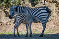 Baby Grevy Zebra Drinking Milk From Mother Royalty Free Stock Photos - 96170988