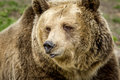 The Face Of A Grizzly Bear. Royalty Free Stock Photos - 96216808