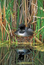 Loon On Nest In Reed Grass. Stock Images - 96237734