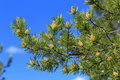 Pinus Sylvestris. Branch Of Pine On A Background Of Blue Sky Royalty Free Stock Photography - 96243697