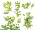 Pineapple Weed Or Wild Chamomile & X28;Matricaria Discoidea& X29; Isolated On White Background. Medicinal Plant Stock Photo - 96291570