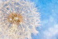 Dandelion Flower With Seeds Ball Royalty Free Stock Photo - 96295905
