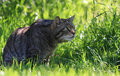 Wild Cat Royalty Free Stock Photography - 9636217