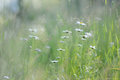Daisy Flowers In The Tall Grass Royalty Free Stock Image - 96306396