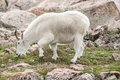 White Big Horn Sheep - Rocky Mountain Goat Royalty Free Stock Photography - 96323787