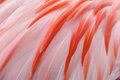 Natural And Exotic Pink Flamingo Feathers Background Texture Royalty Free Stock Photo - 96324025