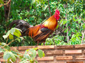 A Rooster On The Wall Stock Image - 96341821