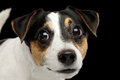 Jack Russell Terrier Dog On Black Background Stock Photo - 96363370